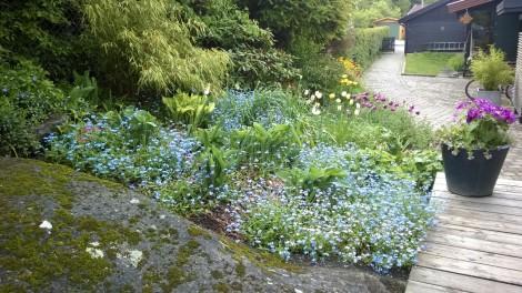 Tidlige stauder skaper et frodig staudebedallerede i april-mai
