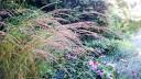 Rørkvein Calamagrostis x acutiflora 'Karl Foerster'